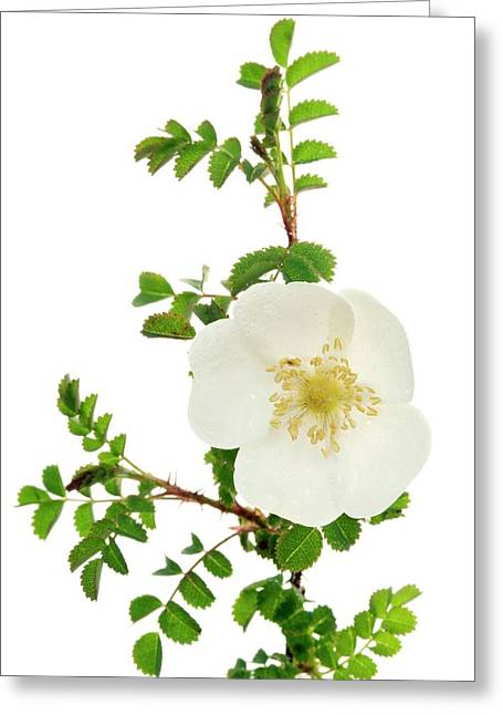 Burnet Rose (rosa Pimpinellifolia) Greeting Card by Duncan Shaw/science Photo Library