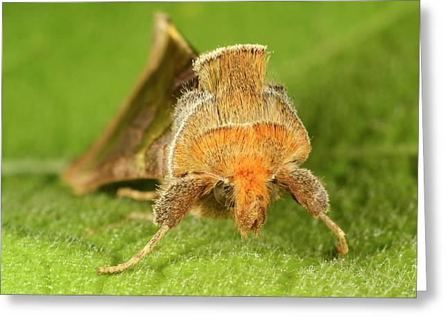 Burnished Brass Moth Greeting Card by Nigel Downer