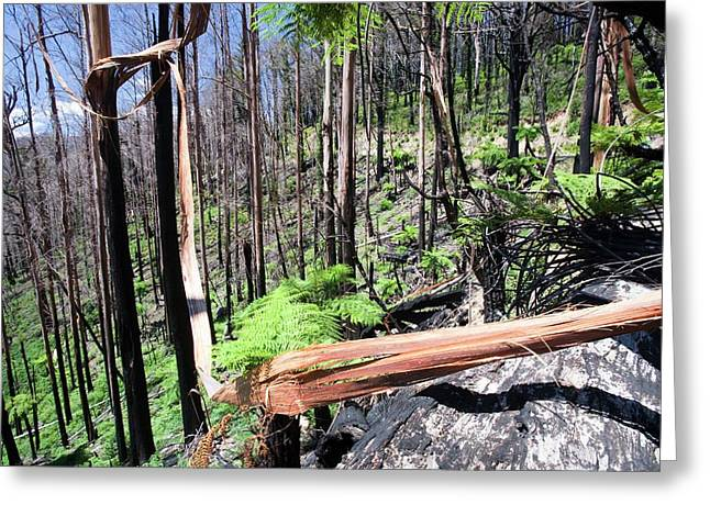 Burnt Forest Near Marysville Greeting Card by Ashley Cooper