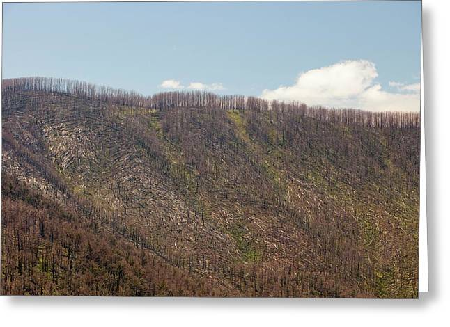 Burnt Out Forest At Marysville Greeting Card by Ashley Cooper