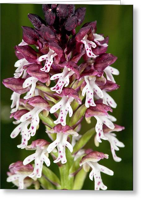 Burnt-tip Orchid (neotinea Ustulata) Greeting Card by Bob Gibbons