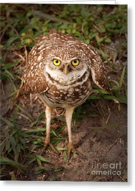 Burrowing Owl 1 Greeting Card by Cindy McIntyre