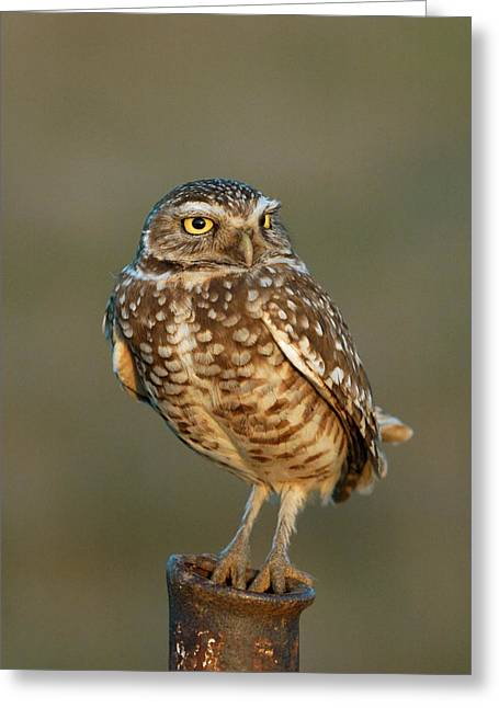 Burrowing Owl At Sunset Greeting Card