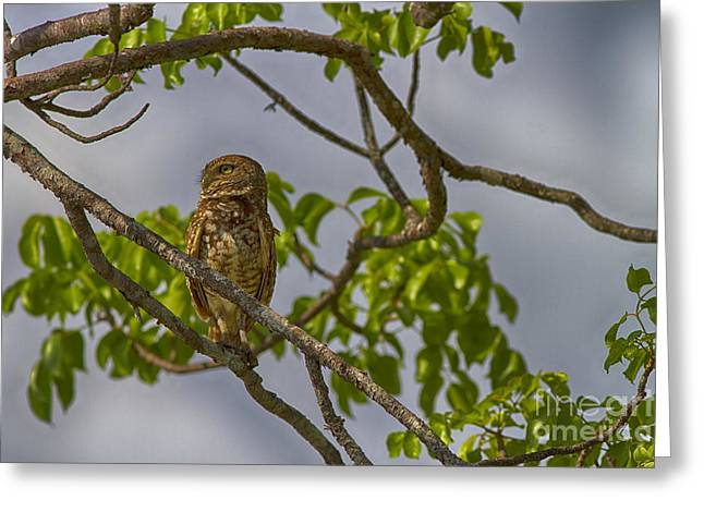 Burrowing Owl In Tree Greeting Card by Anne Rodkin