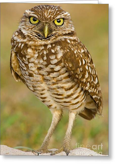 Burrowing Owl Greeting Card by Jerry Fornarotto