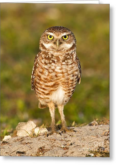 Burrowing Owl Greeting Card by Joshua Clark