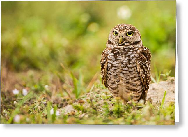 Burrowing Owl Looking After Its Home Greeting Card by Andres Leon