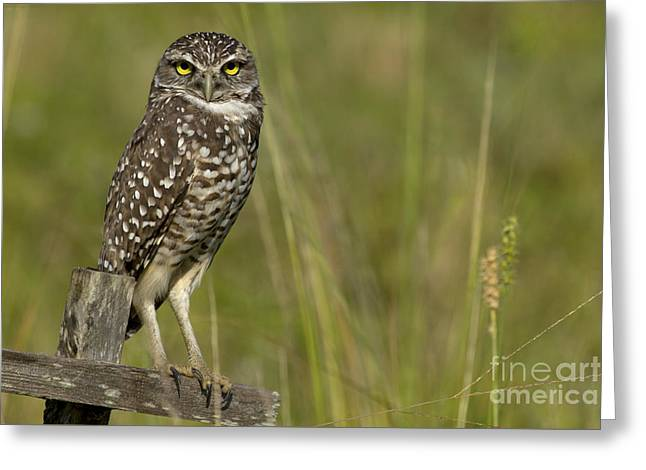 Burrowing Owl Stare Greeting Card by Meg Rousher