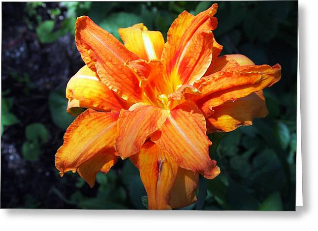 Burst Of Orange In The Garden Greeting Card by Deborah Fay