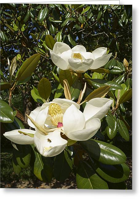 Busy Bee In A Magnolia Blossom 2 Greeting Card