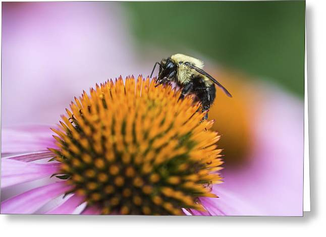 Busy Bee On Cone Flower Greeting Card