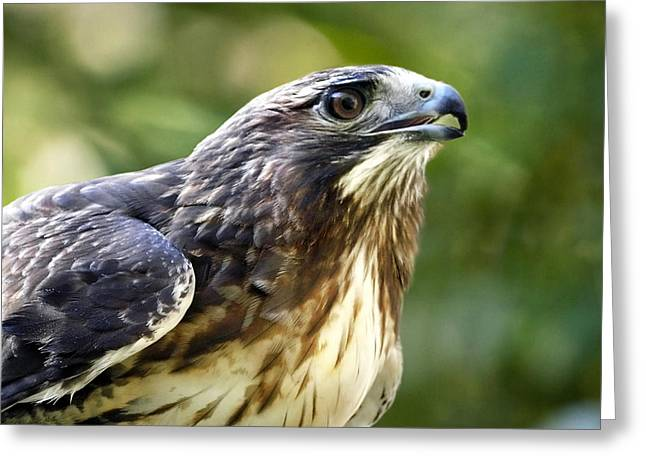 Buteo Jamaicensis Greeting Card by Christina Rollo