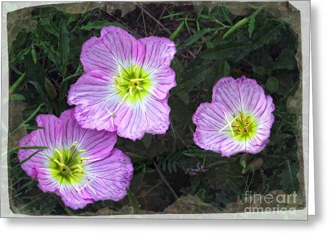 Buttercup Wildflowers - Pink Evening Primrose Greeting Card by Ella Kaye Dickey