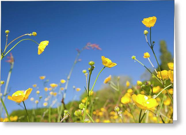 Buttercups Flowering Greeting Card