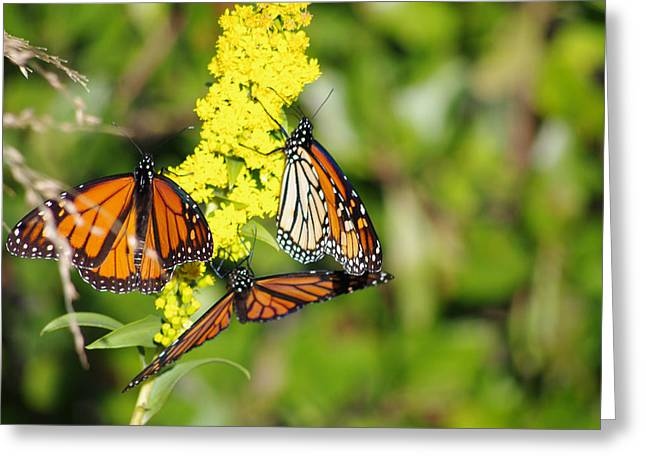 Greeting Card featuring the photograph Butterflies Abound by Greg Graham