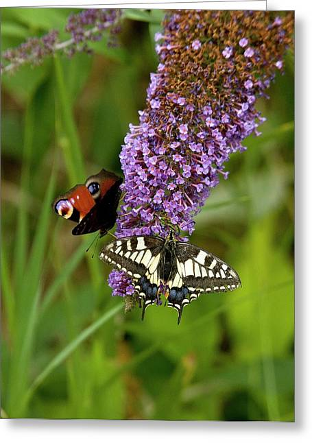 Butterflies Feeding On Buddleia Flowers Greeting Card