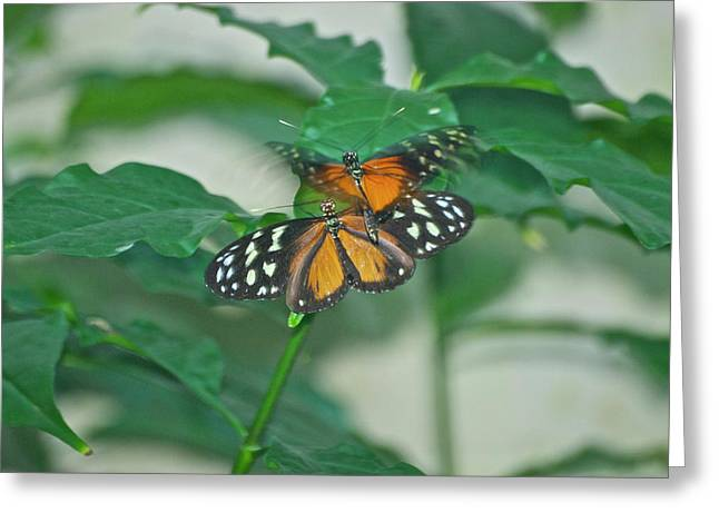 Greeting Card featuring the photograph Butterflies Gentle Touch by Thomas Woolworth