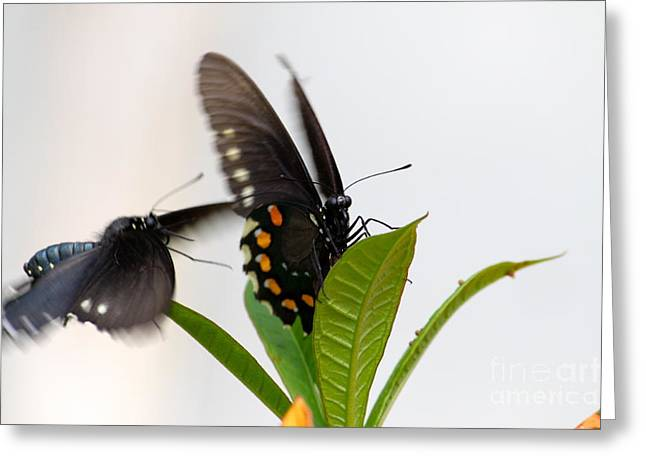 Butterflies Playing Greeting Card by Jay Nodianos