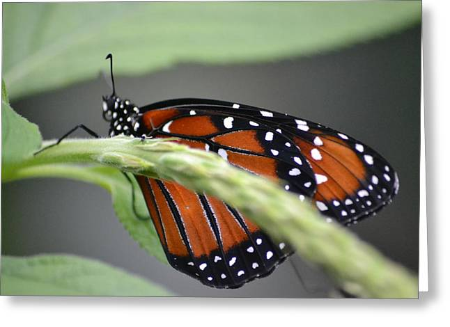 Greeting Card featuring the photograph Butterfly 1 by Michael Colgate