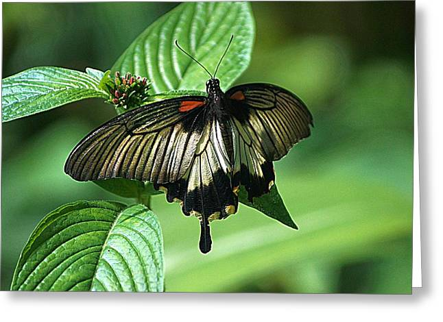 Greeting Card featuring the photograph Butterfly 2 by Kathy Churchman