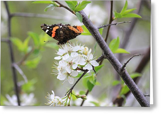 Greeting Card featuring the photograph Butterfly And Apple Blossoms by Penny Meyers
