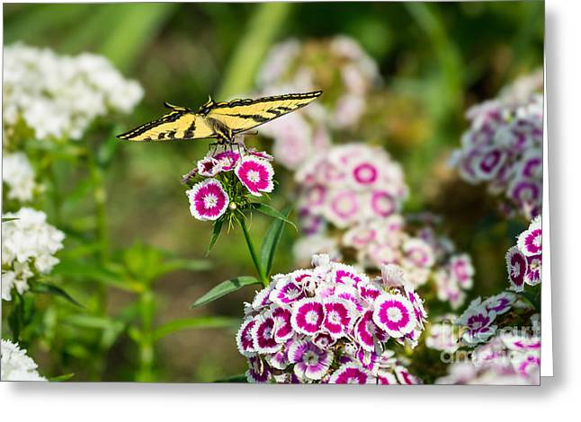 Butterfly And Bloom - Beautiful Spring Flowers And Tiger Swallowtail Butterfly. Greeting Card by Jamie Pham