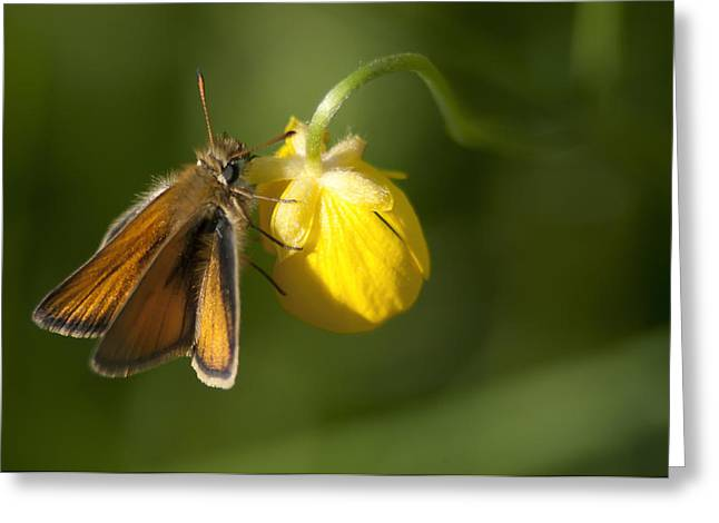 Butterfly And Buttercup  Greeting Card