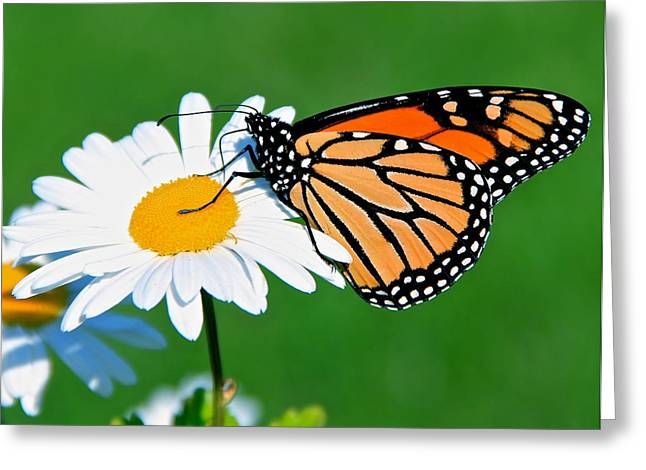 Butterfly And Daisey Greeting Card