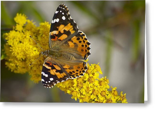 Butterfly And Goldenrod Greeting Card