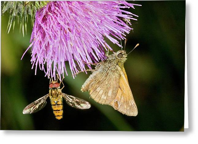 Butterfly And Hoverfly On Thistle Flower Greeting Card by Bob Gibbons