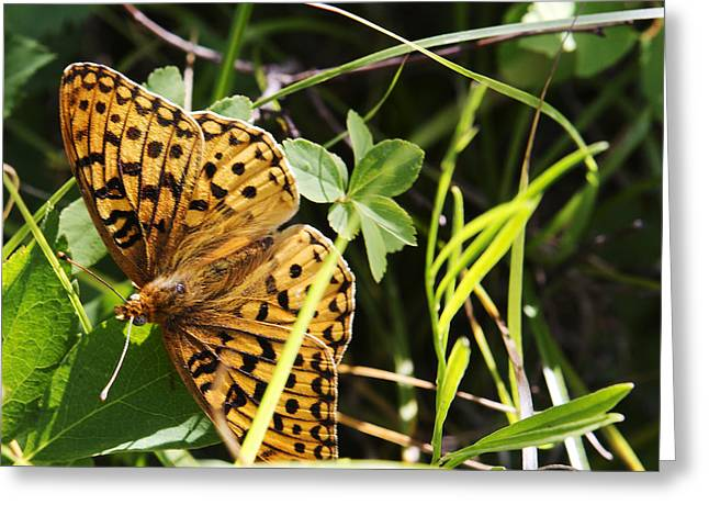 Greeting Card featuring the photograph Butterfly At Signal Mountain by Belinda Greb