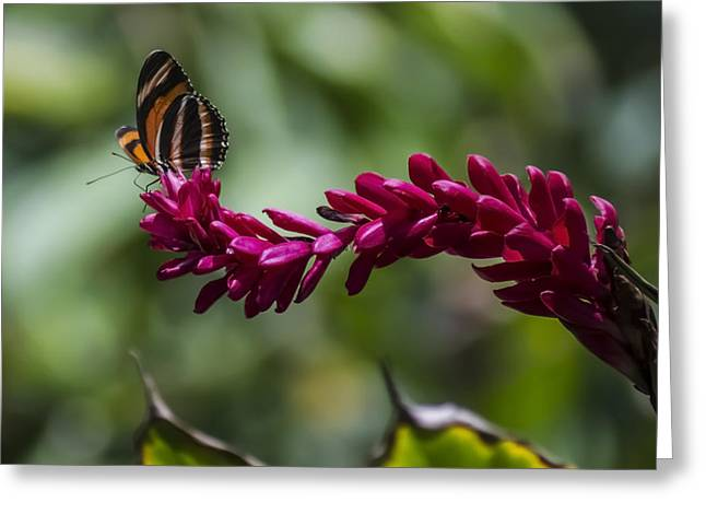 Butterfly At The End Of A Red Flower Greeting Card by Sven Brogren