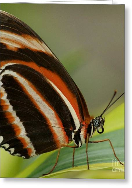 Butterfly Autumn With Green Head Greeting Card by Gail Matthews