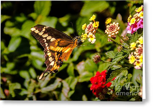 Butterfly Beauty Greeting Card by Robert Bales