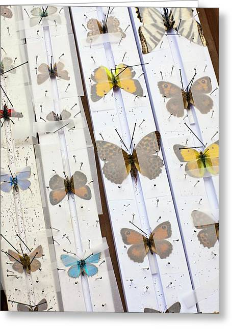 Butterfly Collector Setting Board Greeting Card