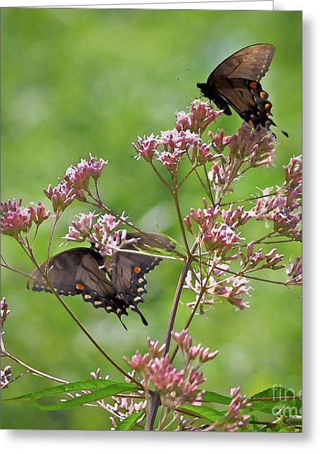 Butterfly Duet  Greeting Card