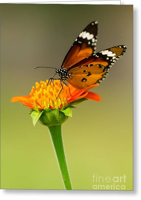 Butterfly Feeding Greeting Card by Tosporn Preede