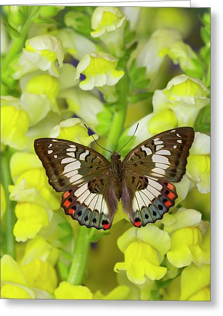 Butterfly, Female, Euthalia Adonia Greeting Card