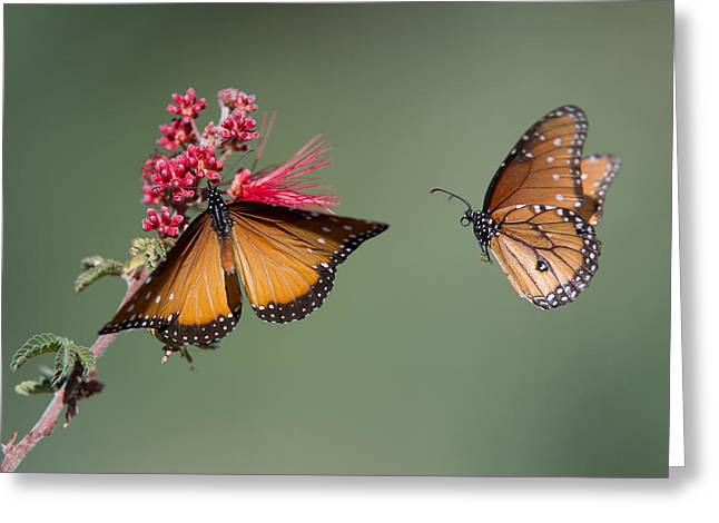 Butterfly Flight Greeting Card by Jeff Wendorff