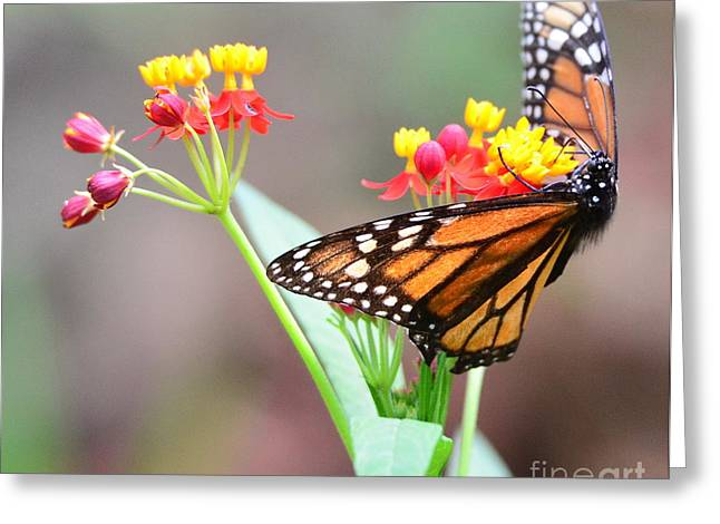 Butterfly Flower - Gossamer Wings Embrace Candy Blossoms Greeting Card by Wayne Nielsen