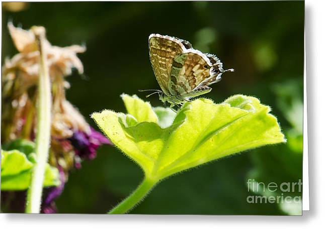 Butterfly Greeting Card by Giovanni Chianese
