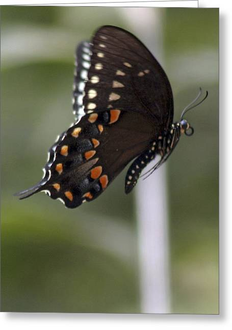 Butterfly In Flight Greeting Card by Corey Haynes