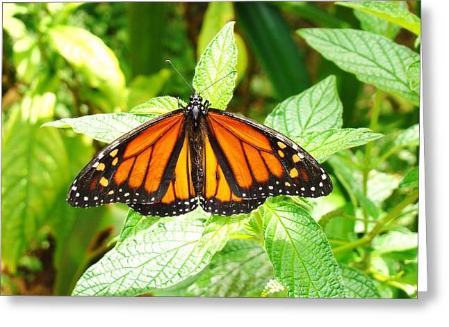 Butterfly In The Plants Greeting Card by Van Ness