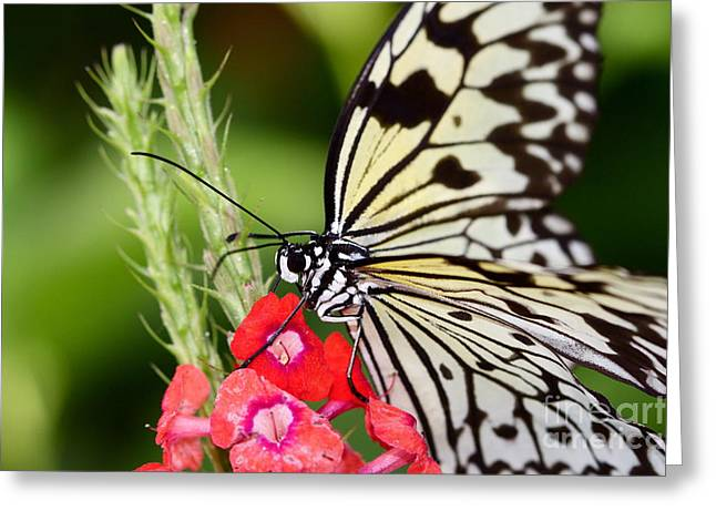 Butterfly Kisses Greeting Card by Pamela Gail Torres