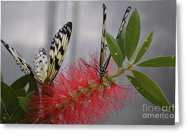 Butterfly Love Greeting Card by Carla Carson