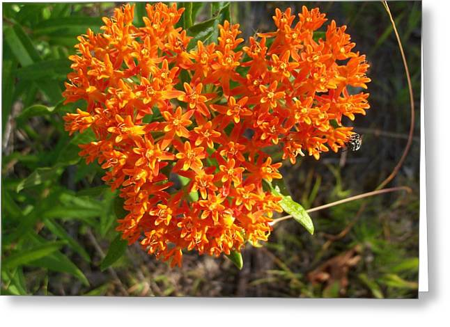 Butterfly Milkweed Greeting Card