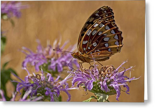 Butterfly On Bee Balm Greeting Card by Shelly Gunderson