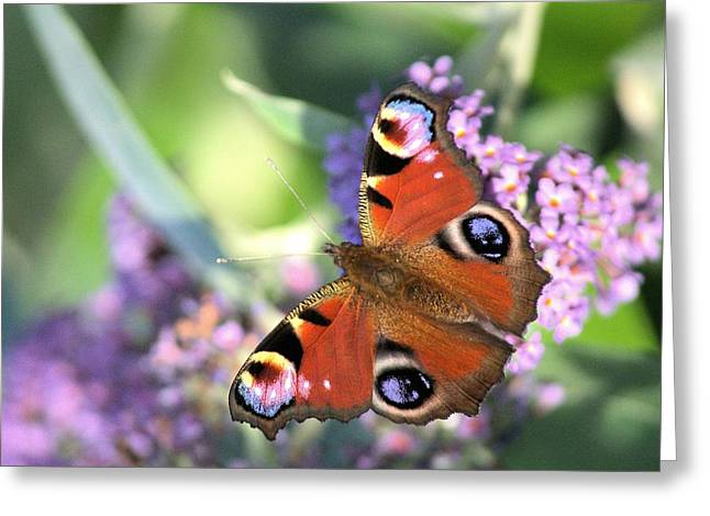 Butterfly On Buddleia Greeting Card by Gordon Auld