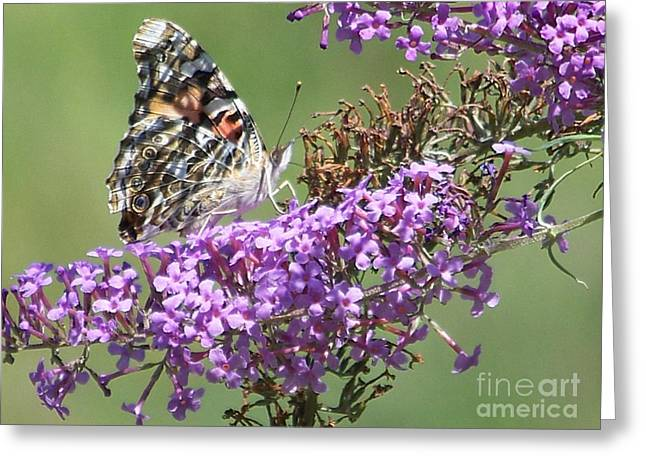 Greeting Card featuring the photograph Painted Lady Butterfly by Eunice Miller