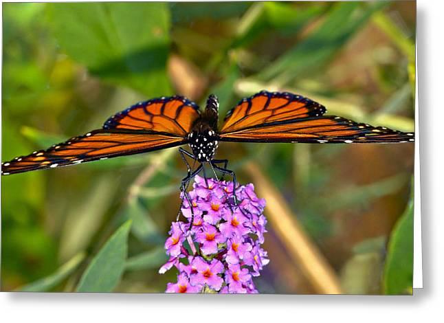 Butterfly On Butterfly Bush Greeting Card by Susan Leggett